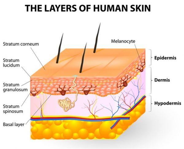 C:\Users\Administrator\Desktop\layers-of-human-skin-600x486.jpeg
